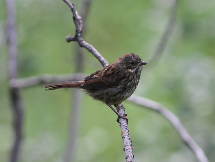 Song Sparrow kmm,2