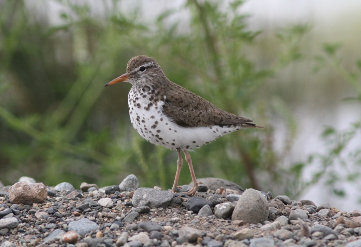 Spotted Sandpiper 4bds