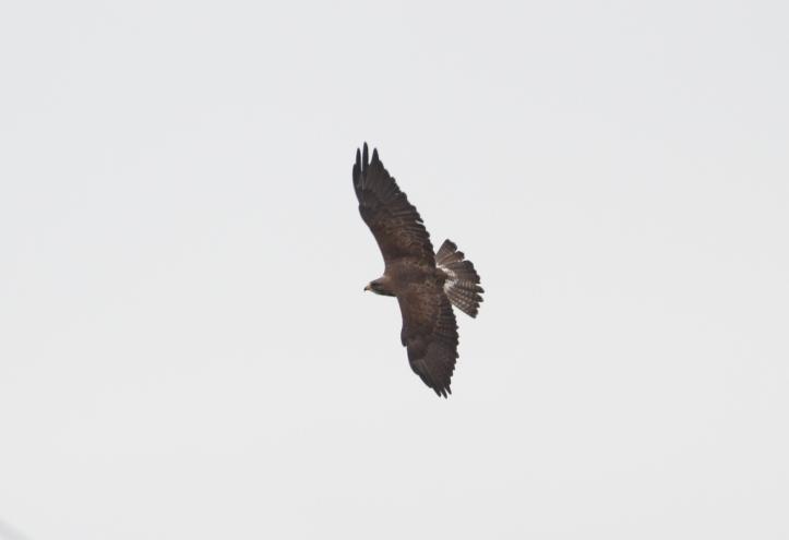 Swainson's Hawk 2cc
