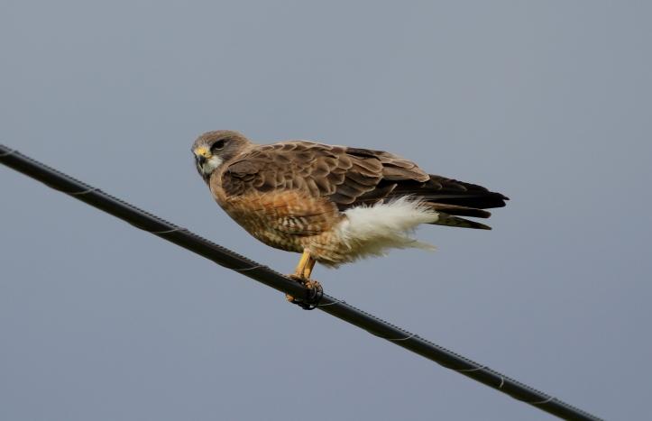 Swainson's Hawk 6bdg