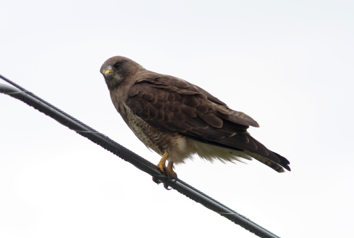 Swainson's Hawk 78o2