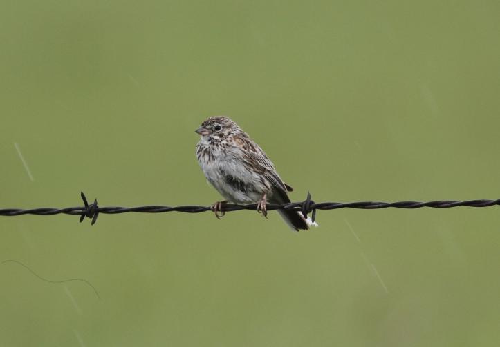Vesper Sparrow 78k2