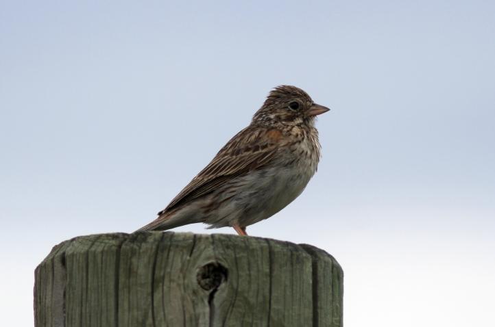 Vesper Sparrow hggjh2