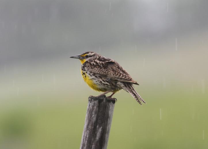 Western Meadowlark 87gh2