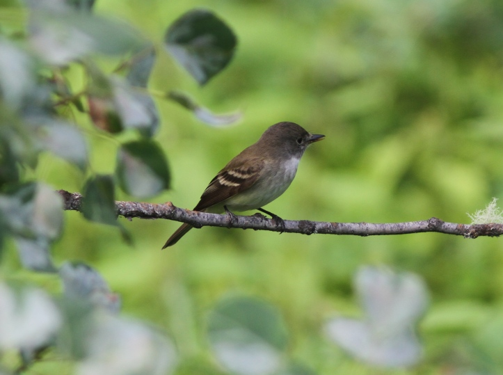 Willow Flycatcher 8kl2