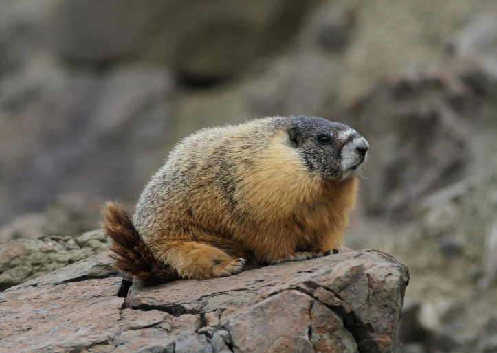 Yellow-belloied Marmot gfj2g