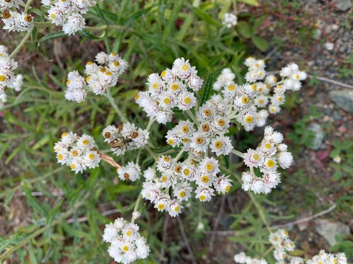 Pearly Everlasting 3 (1)