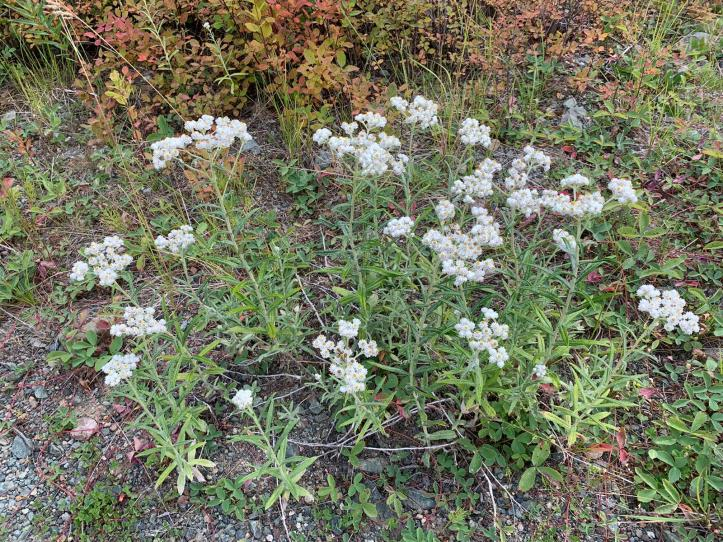 Pearly Everlasting 3 (4)