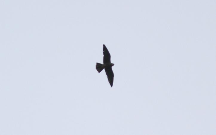 Peregrine Falcon ghjk3