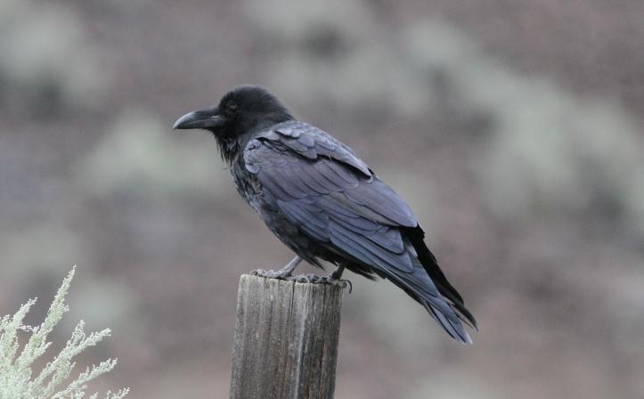 Raven 32