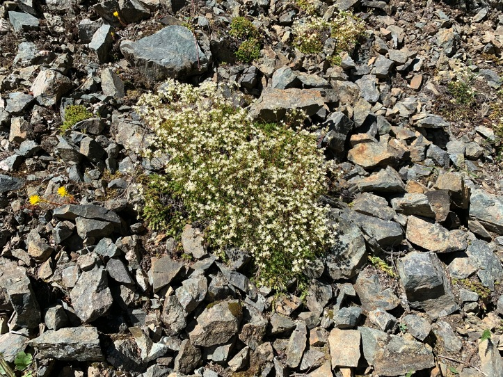 Yellow-dot Saxifrage (1)
