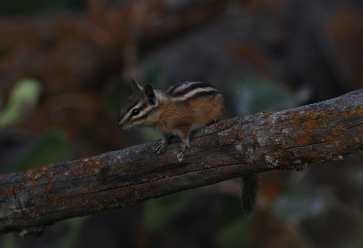 Yellow-pine Chipmunk ghj2