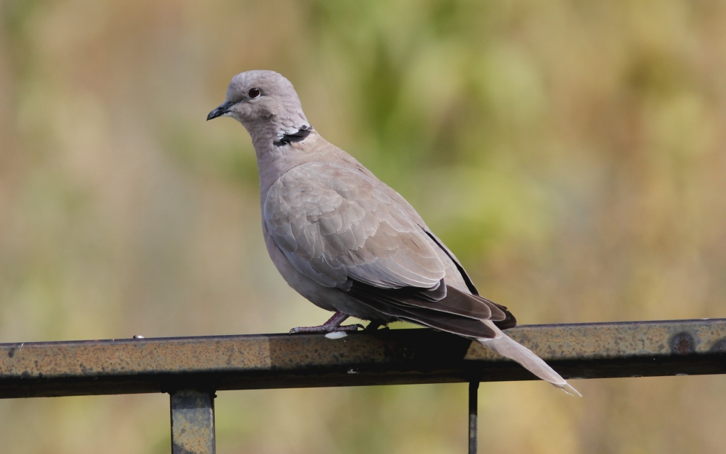 This image has an empty alt attribute; its file name is eurasian-collare-dove-67gj2.jpg